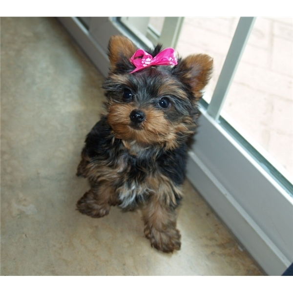 Akc Teacup Yorkie Puppies For Re Homing San Jose For Sale Los