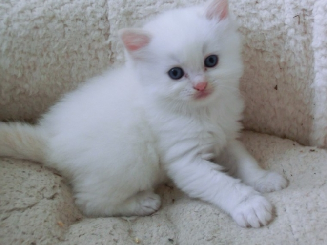 RAGDOLL KITTENS  D U E !! GCCF REGISTERED FULL PEDIGREE FROM FABULOUS 91376  For sale Humboldt County Pets Cats