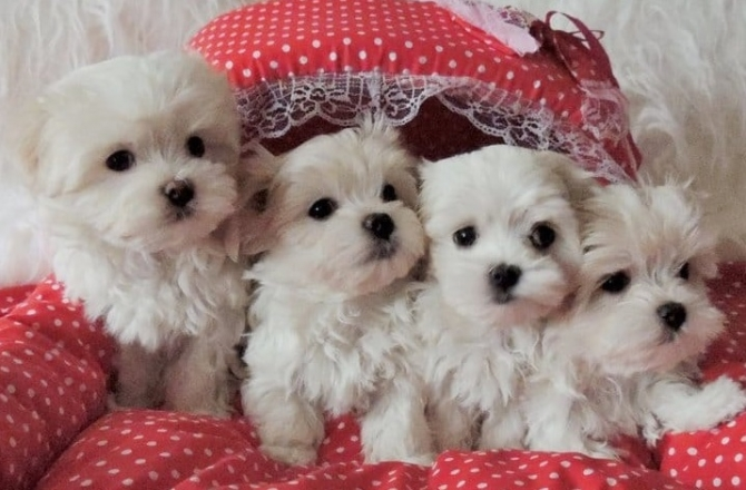 Charming males  females Teacup Maltese Puppies for sale 504-345-9436