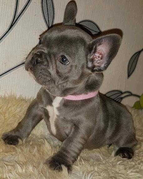 Akc Registrered French Bulldog Puppies For Sale Compton For Sale