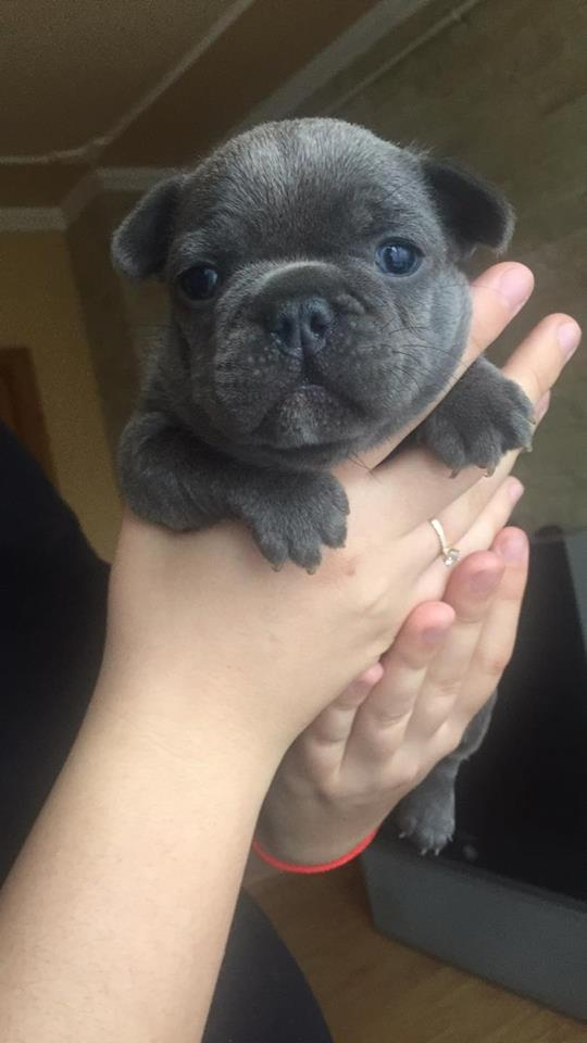 Akc French Bulldog Puppies For Sale Sioux City For Sale Sioux City