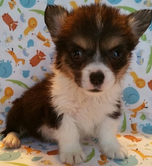 Pure Bred Pembroke Welsh Corgi Puppies textcall928 660-6452.