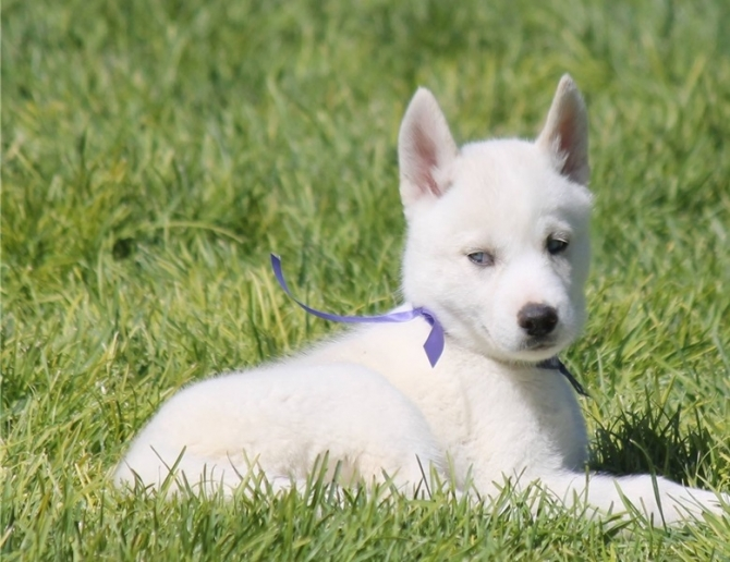 Akc Quality Siberian Husky Puppies For sale ...