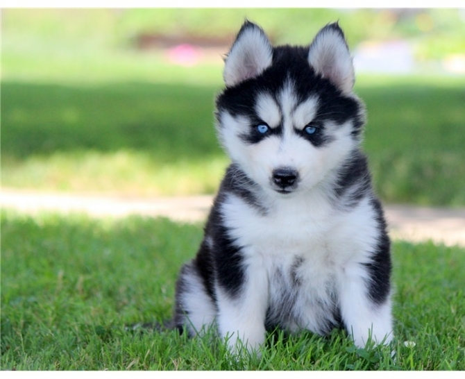 Adorable Siberian Husky Puppy Available Northwest Connecticut For