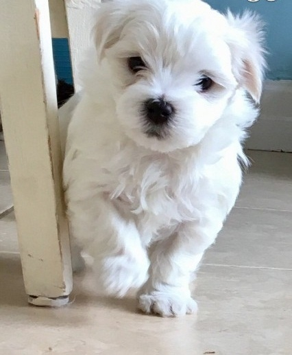 Maltese puppies 302 x-583 x-31 - 80