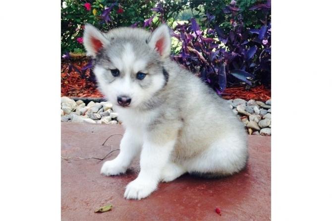 Outstanding Siberian Husky Puppies 205 212 1903 Indiana
