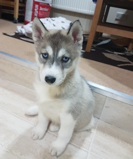 CUTE AND ADORABLE SIBERIAN HUSKY PUPPIES LANCASTER For sale