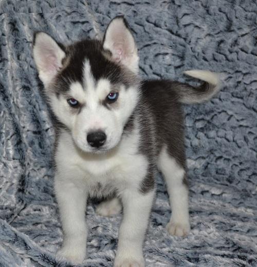 Adopt Siberian Husky Puppies New York Bronx For Sale New