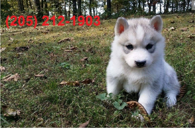 Pedigree Siberian Husky Puppies For Adoption El Paso For Sale El