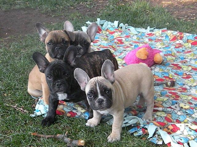 Fresh Sweet French Bulldogs For Re Homing Oklahoma City For Sale