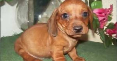 Adorable Dachshund Puppies For Sale Los Angeles For Sale Los Angeles