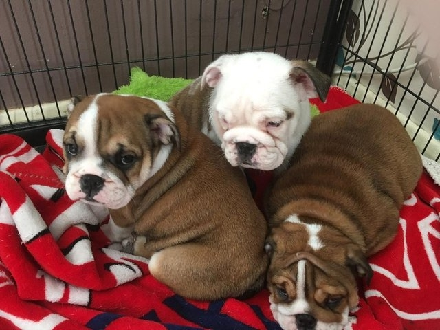 Male And Female English Bulldog Puppies Available Raleigh For Sale