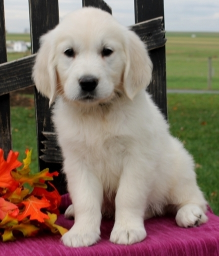 Golden retriever puppies for sale in las vegas