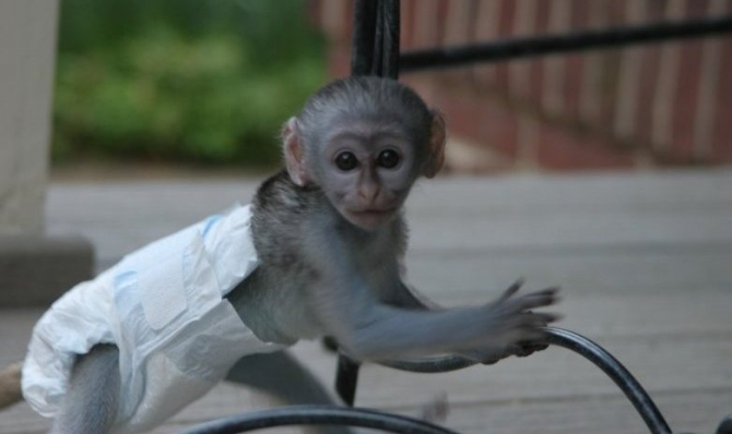 Amazing Capuchin Monkey For Adoption