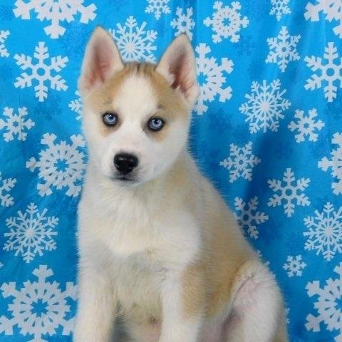 Akc Registered Siberian Husky Puppies 310 334 2283 Colorado Springs