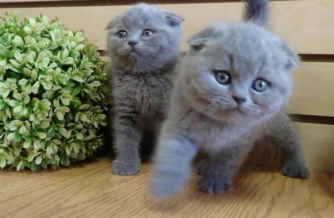 SCOTTISH FOLD KITTENS HAVE BEEN WORMED REGULARLY SINCE BIRTH WOW