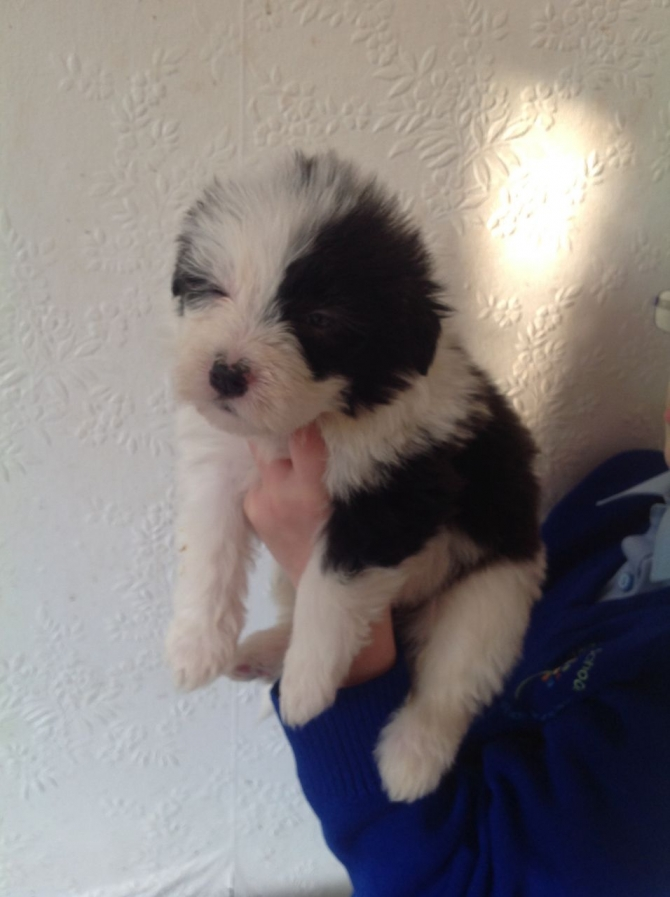 Gorgeous Pure Bred Bearded Collie Puppies