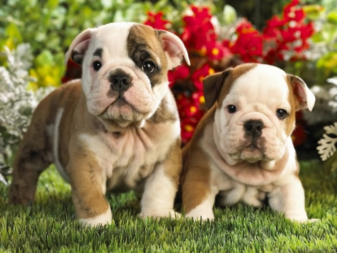 Adorable And Lovely English Bulldog Puppies Big Island For Sale