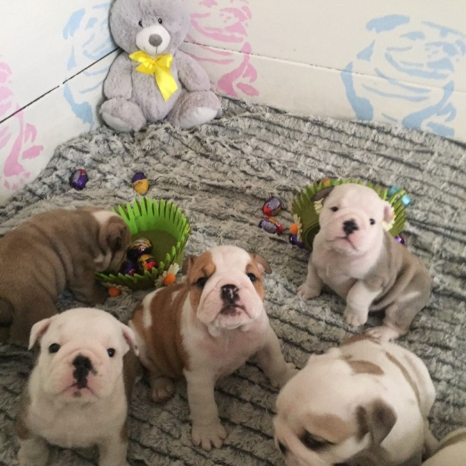 pure bred English bulldog puppies jhgfkf