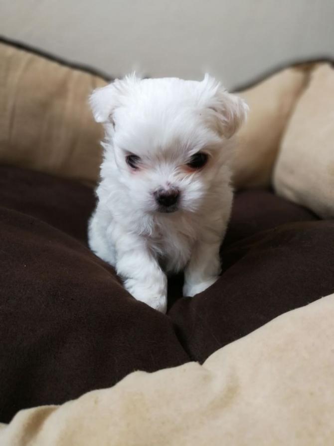 T Cup Maltese Puppy 4197182563 Las Vegas For Sale Las Vegas Pets Dogs