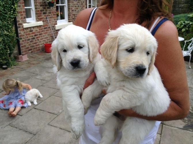 Diligent Golden Retriever Puppies Ready Austin For Sale Austin