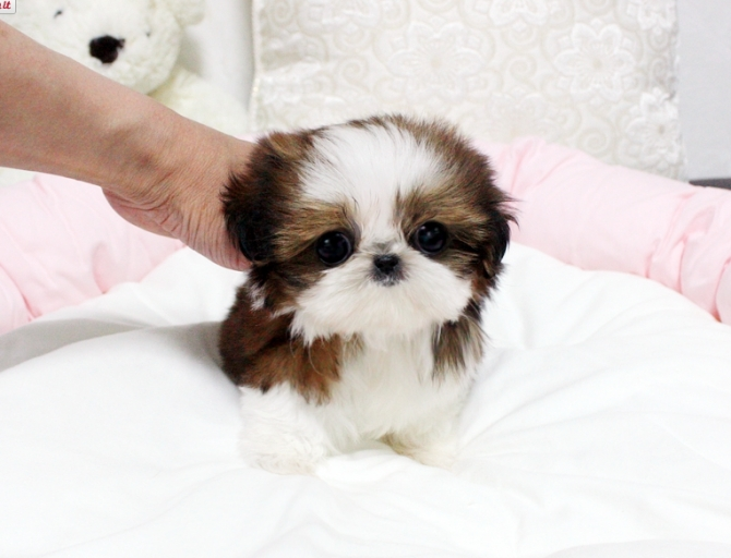 Shih Tzu Puppies Boone For Sale Boone Pets Dogs