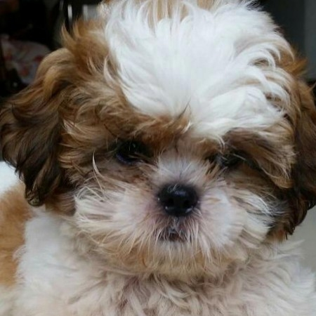 Very Cute Shih Tzu Puppies Asheville For Sale Asheville Pets Dogs