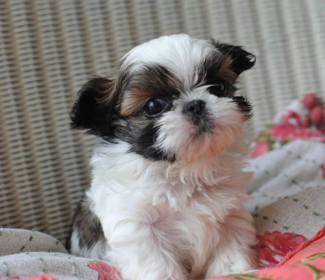 Adorable Shih Tzu Puppies Fayetteville For Sale Fayetteville Pets Dogs