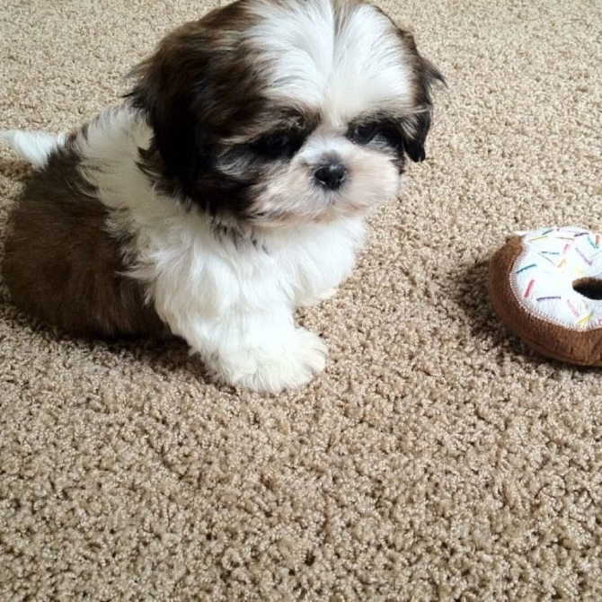 Sweet Shih Tzu Puppies Ready To Go Wilmingon For Sale Wilmington