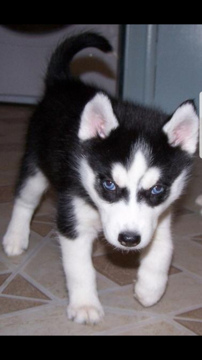 Adorable Blue Eyed Siberian Husky Puppies For Sale Bismarck For