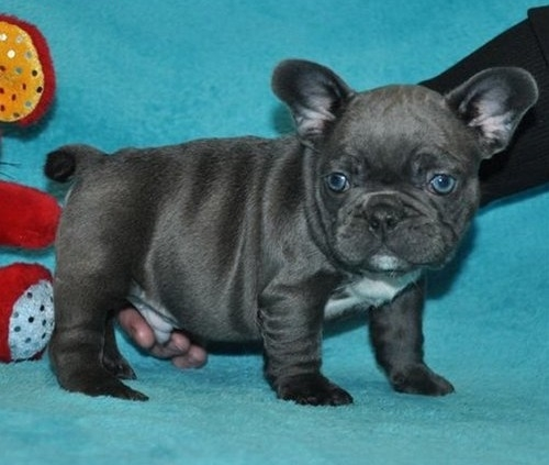 FANTASTIC BLUE FRENCH BULLDOG PUPPIES AVAILABLE FOR SALE