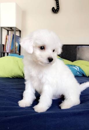 Super Adorable Maltese Teacup Maltese Puppies For Sale For Sale