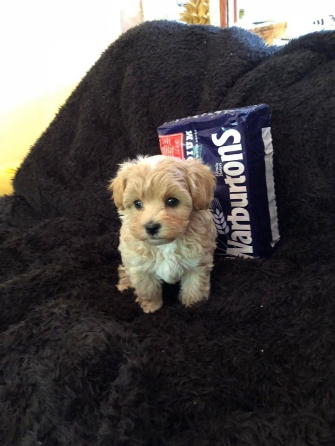 TEACUP MALTIPOO PUPPIES FOR SALE  CALLTEXT 832-779-6173 HARTFORD For