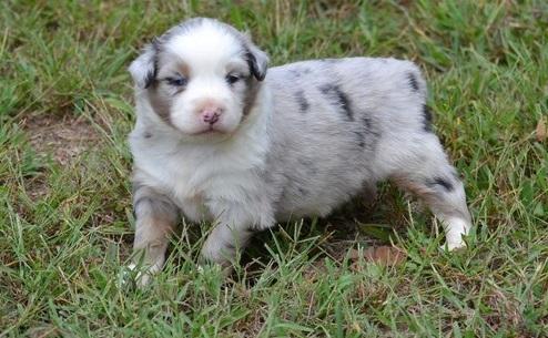 FRIENDLY AUSTRALIAN SHEPHERD PUPPIES 79413 For sale Corpus