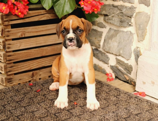 INTELLIGENT BOXER PUPPIES 79413 For sale San Antonio Pets Dogs