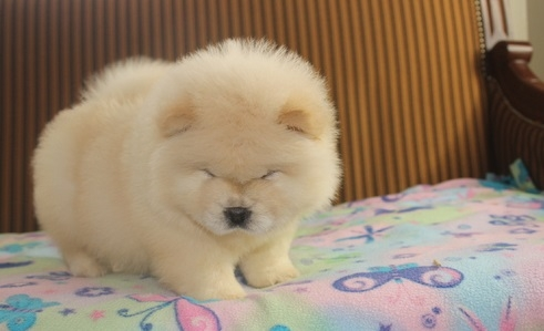 VERY CUTE CHOW CHOW PUPPIES LUBBOCK For sale Killeen Temple