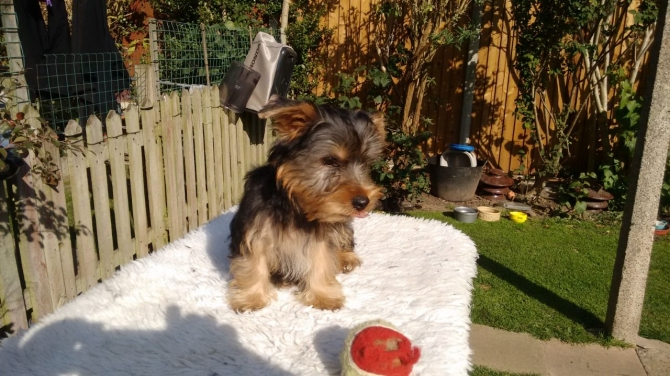 Lovely And Cute Yorkie Puppies Call Or Text 2523792103 San Antonio