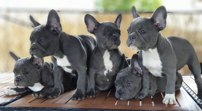 100% GENUINE BLUE FRENCH BULLDOG PUPS  TEXT US AT 503 X 832 X 0410 AUBURN,  AL For sale Auburn Pets Dogs