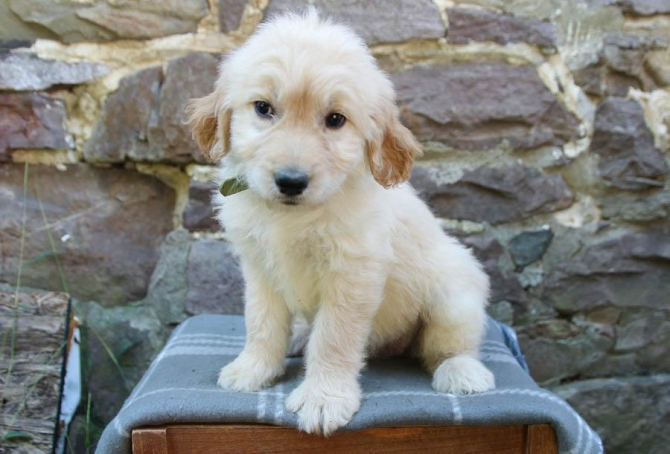 We Have 2 Beautiful Golden Retriever Puppies Los Angeles For Sale