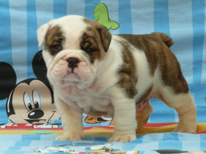 English Bulldog Puppy For Adoption