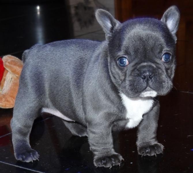 Fantastic Blue French Bulldog Pups Text Us At 503 X 832 X 0410 El