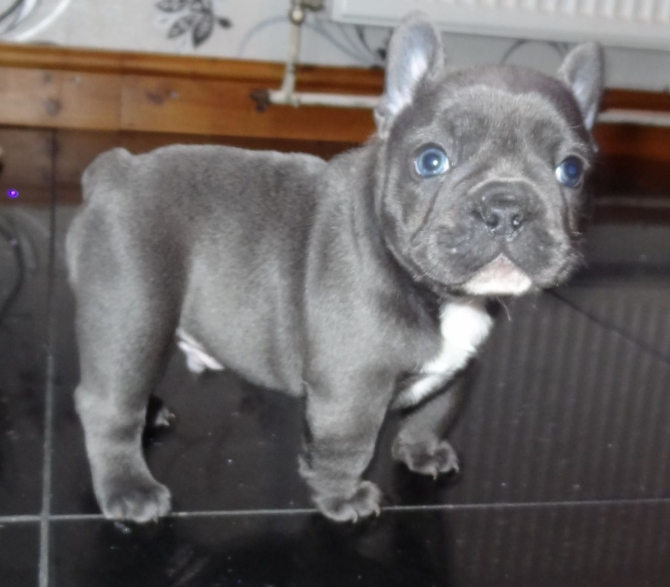 100% GENUINE BLUE FRENCH BULLDOG PUPS  TEXT US AT 503 X 832 X 0410 DALLAS,  TX For sale Dallas Fort Worth Pets Dogs