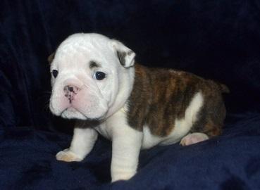 Adorable X Mass English Bulldog Puppies For Loving Homes Scottsdale