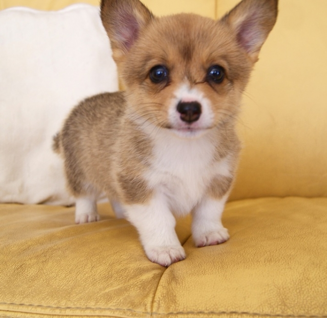 X Mas Gift Corgi Puppies Available Now Miami For Sale Miami Pets Dogs