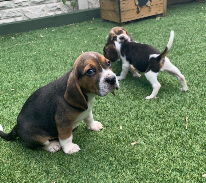 Awesome Beagle Puppies For Sale Olema For Sale Los Angeles Central