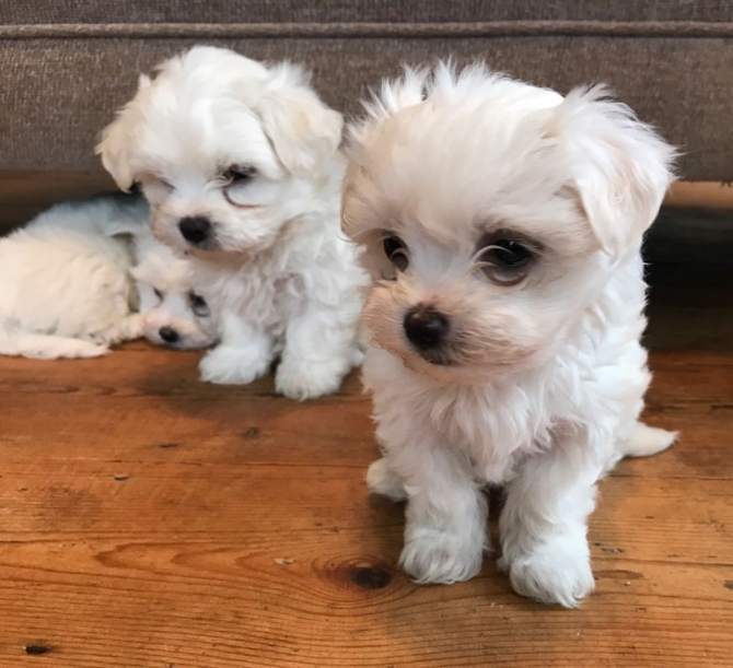 Teacup Maltese Puppies Seek Loving Home Shreveport For Sale