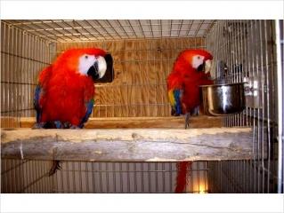 SCARLET MACAW PARROTS BELLIGHAM For sale Bellingham Pets Birds