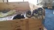 www.cute-pom-sky-puppies.com