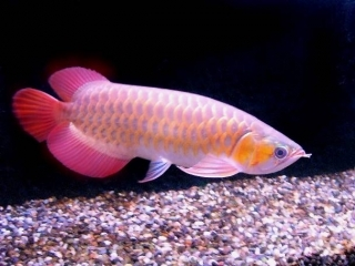 Quality Arowana fishes available for sale