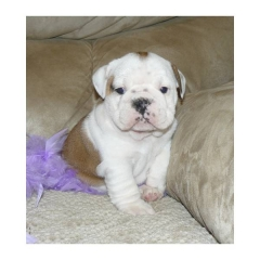 cute female English bulldog puppy